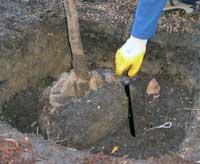 Földlabdás fa előkészítése