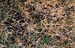 Gerlachia nivalis