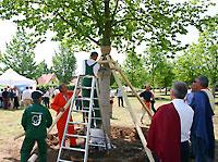 Hársfa kipányvázása